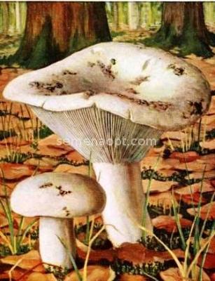 Cum arată ciupercile otrăvitoare. Imaginile care îți pot salva viața