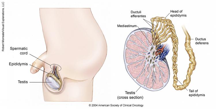 testicular cancer location