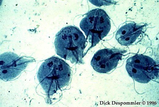 protozoar giardia anemie zeichen