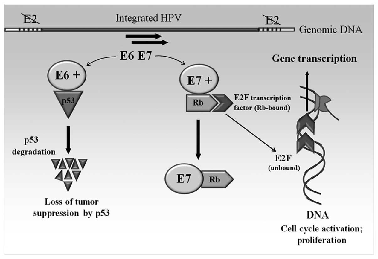 papillomavirus oncogene hpv 16