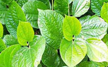anthelmintic herbs vaccinul impotriva cancerului de col uterin reactii adverse