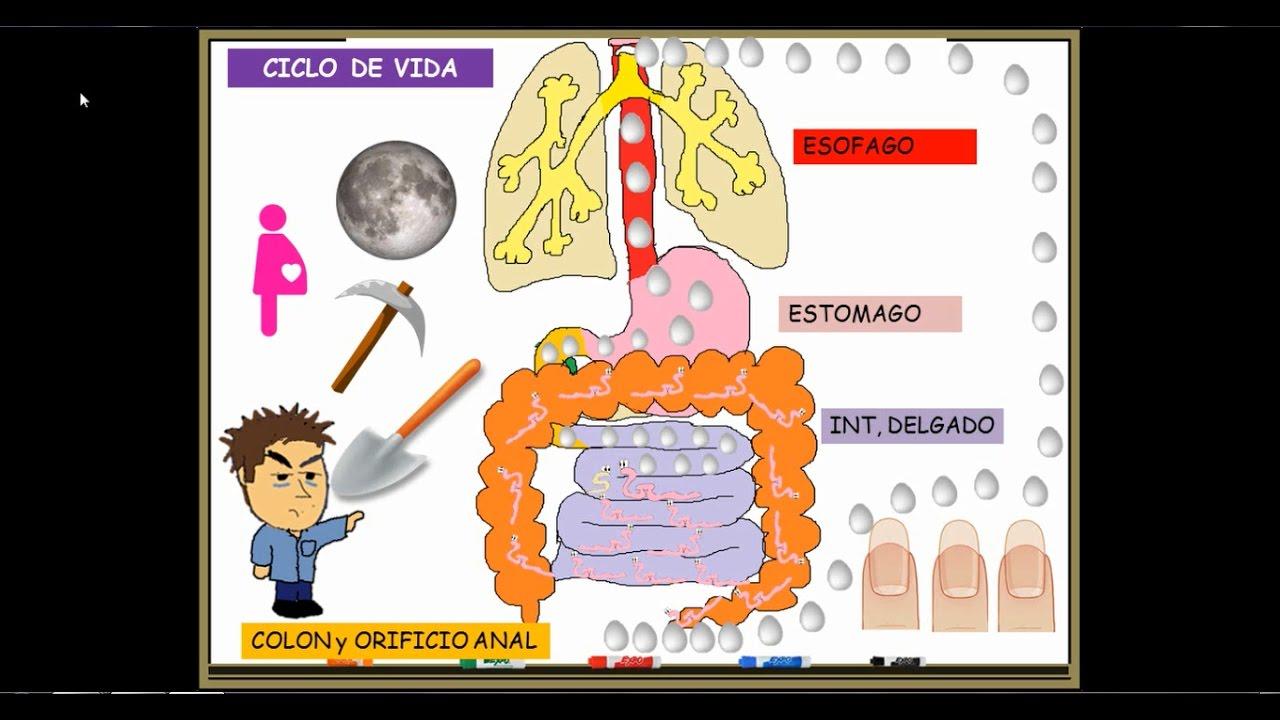 ciclo biologico del parasito oxiuros