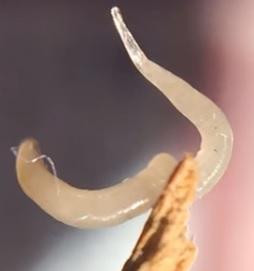 paraziti roupy hpv na lingua sintomas