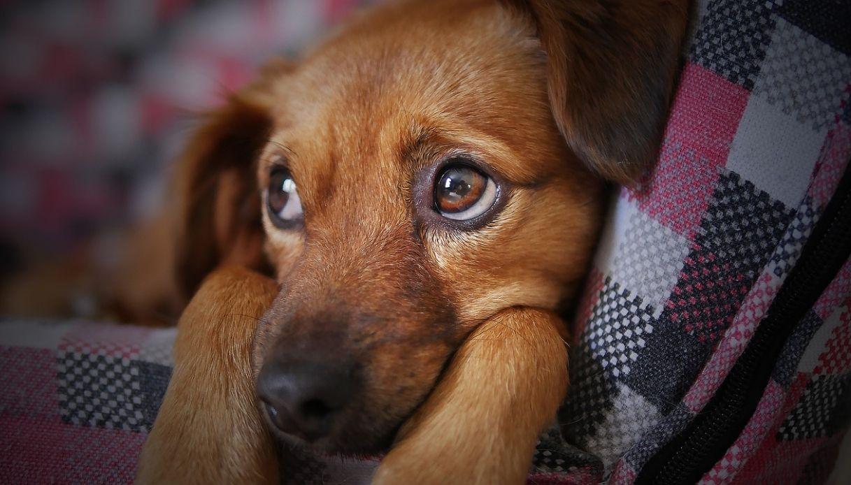 papilloma virus cani cura