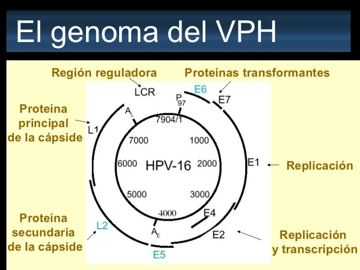 virus del papiloma tipo 16