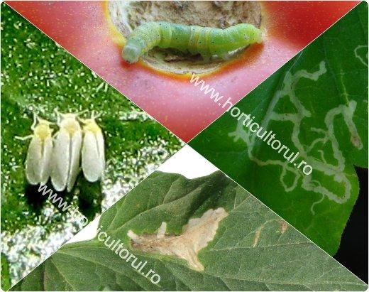 Viermii Sarma-Agriotes: Tomate, Castravete, Cartof | ghise-ioan.ro