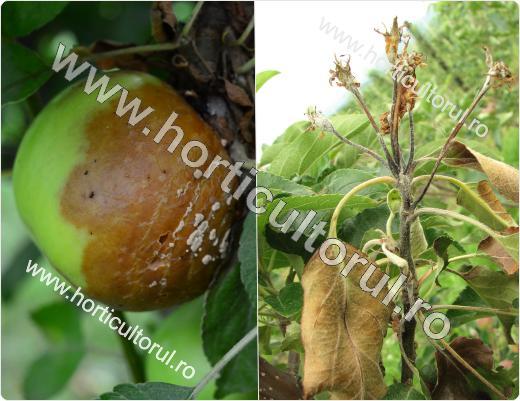 Tratamente, informatii, pomi fructiferi, mar