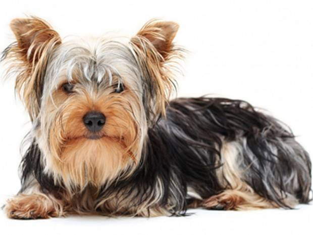 Tratamentul viermilor din Yorkshire Terrier