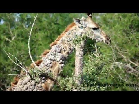 deer with hpv virus