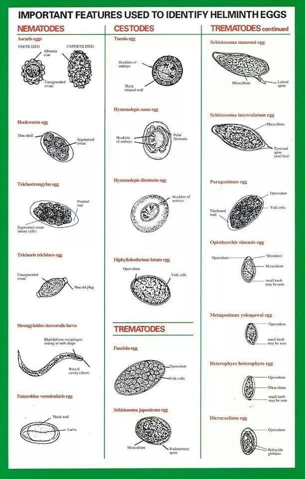 tratament anti paraziti intestinali viermi intestinali la adulti tratament