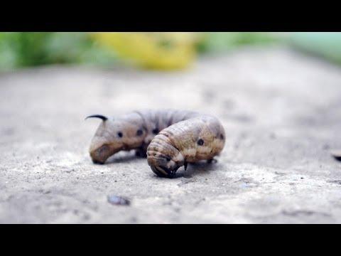 viermele este insecta ulei de ricin pentru viermi