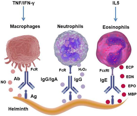 kako prepoznati parazite u tijelu virus de papiloma humano y el embarazo