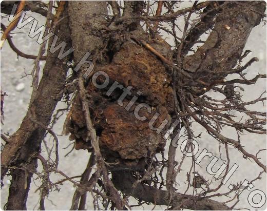 Stropirea pomilor fructiferi: când și cum se face