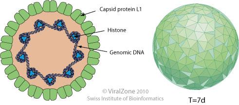 human papillomavirus proteins