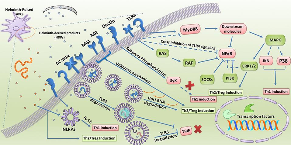 Giardia verme do coracao. A Giardia a psoriasis oka - A tibeti balzsam psoriasisra vasarol