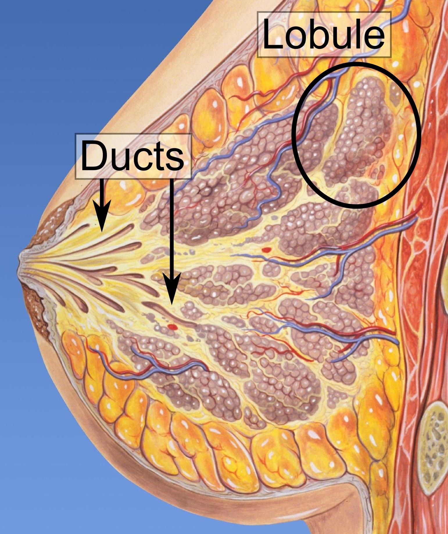 DUCTAL - Definiția și sinonimele ductal în dicționarul Engleză