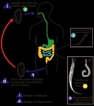 oxiurose prevencao e tratamento