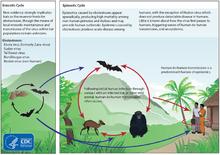 Ebola - explicată pe scurt şi la obiect!