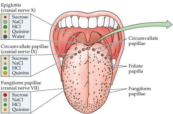 circumvallate papillae tongue treatment