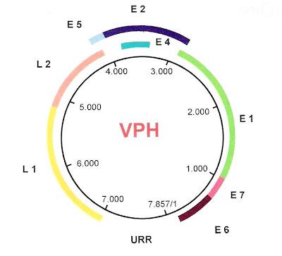 papilloma virus genoma human papilloma virus case report