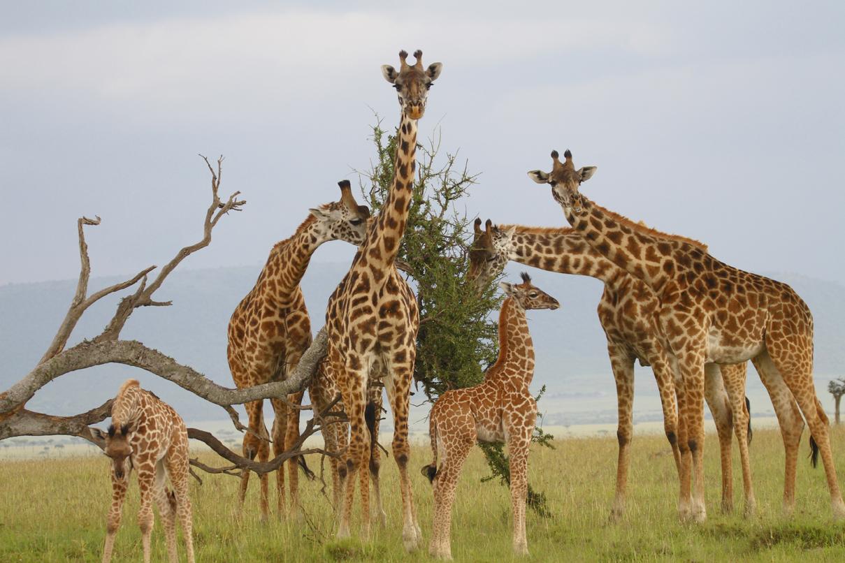 papillomavirus in giraffe neuroendocrine cancer neck