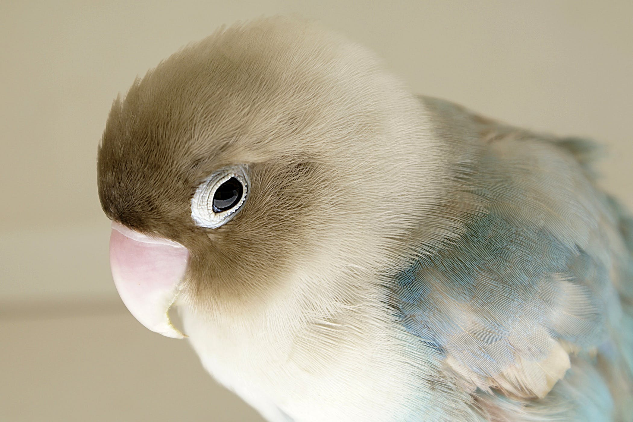 papillomatosis virus birds