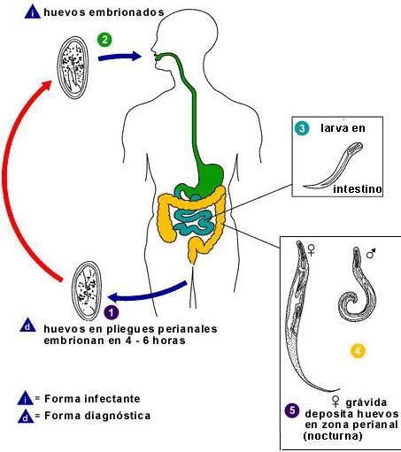 Simptomele infecției cu vierme la copii - Digestie -