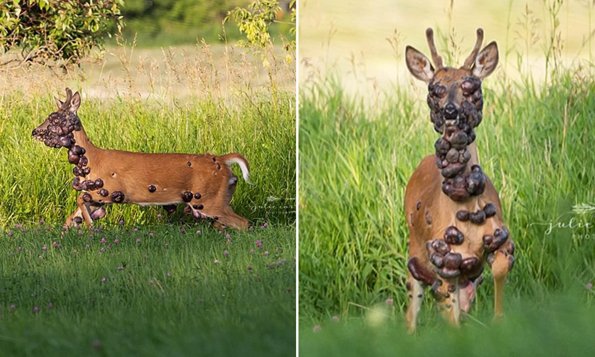 papillomavirus on deer