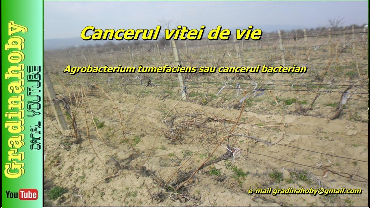 Bolile Marului & afectarea plantelor   ghise-ioan.ro