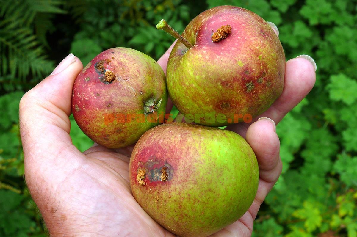 De ce fac merele viermi | Paradis Verde