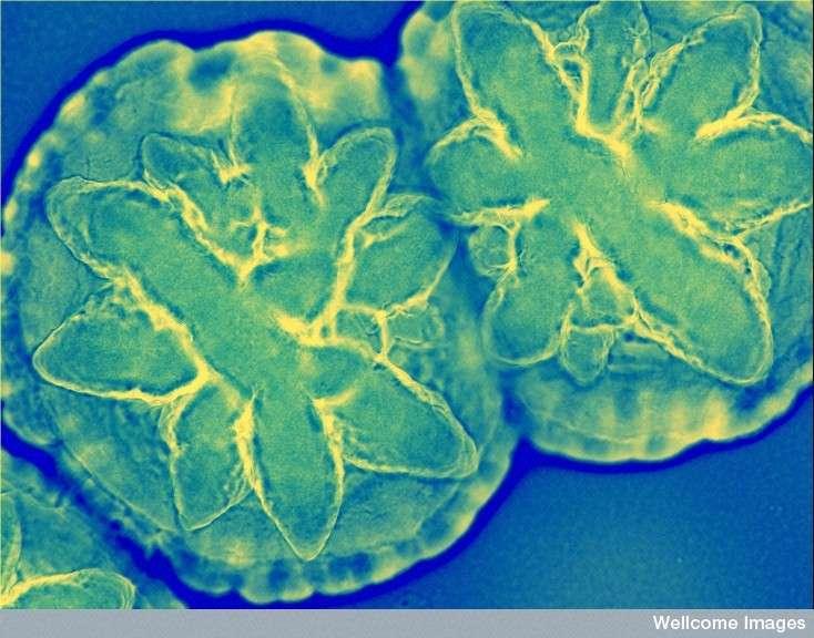 bacterie 7 lettres