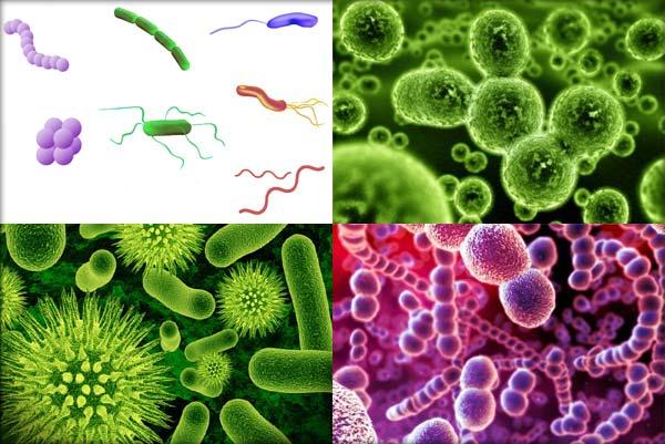 bacterii coci