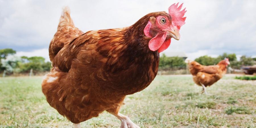 S-a dovedit că găinile crescute la curte au mai mulți paraziți decât cele din ferme - VICE