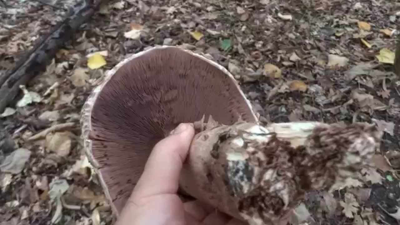 ciuperci otravitoare exemple