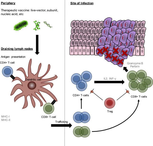 hpv virus c3