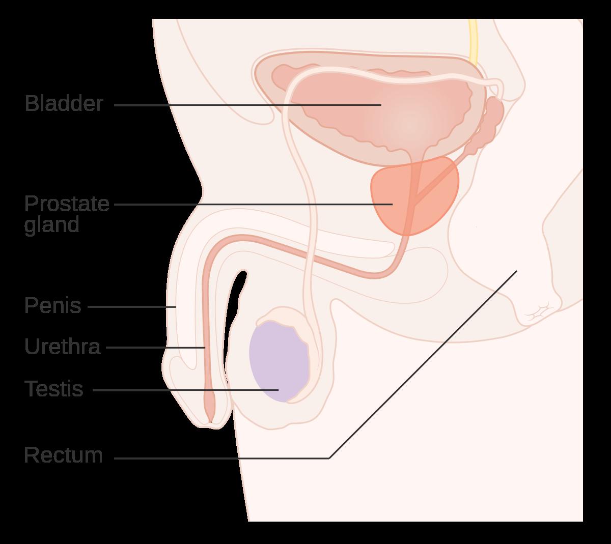 Prostata si rolul ei in organism. Tot ce trebuie sa stii