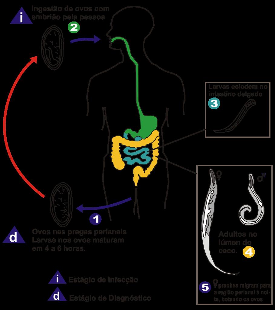 Worms simptomelor la adult - Bactefort