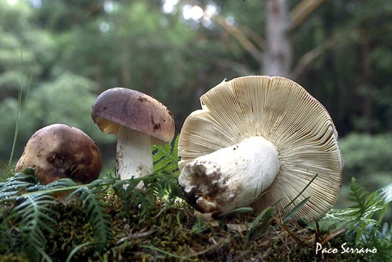 Cum arată ciupercile otrăvitoare. Specii de ciuperci cu imagini - ghise-ioan.ro