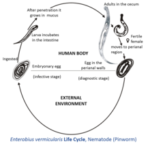 enterobius vermicularis host