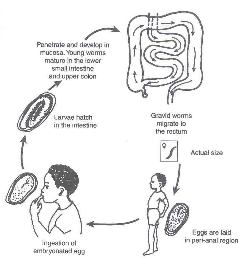 Helminti razreda nematode ancylostoma spp