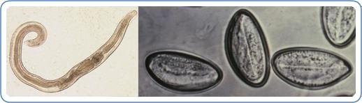 enterobius vermicularis profilaxis hpv verrues genitales