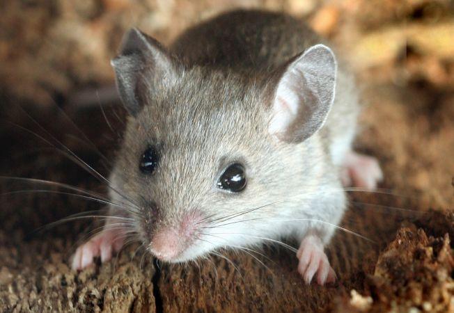 paraziti rozatoare detoxifiere ganglioni limfatici
