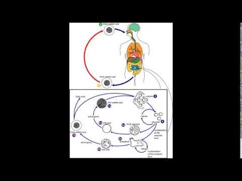blastocystis hominis parazit tedavisi viermi eliminati prin urina