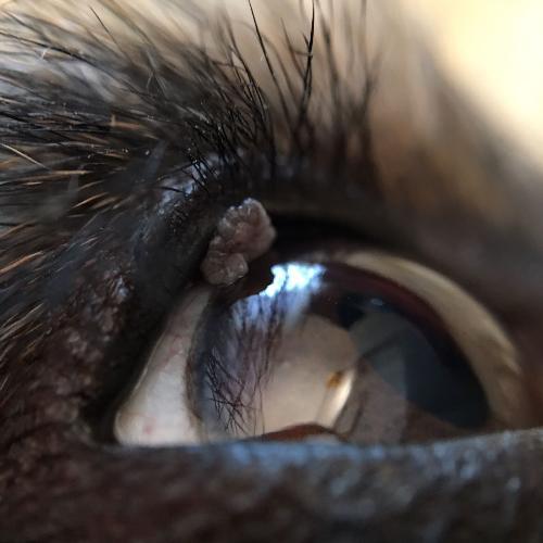 papilloma palpebrale cane
