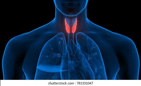 TIROIDES - Definiția și sinonimele tiroides în dicționarul Spaniolă