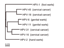 genital hpv types prostate cancer genetic home reference