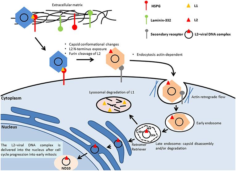 l evolution du papillomavirus