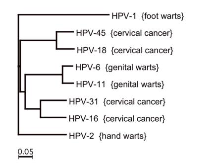 papilloma virus hpv 45