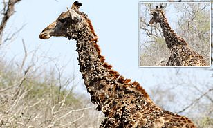 papillomavirus in giraffe