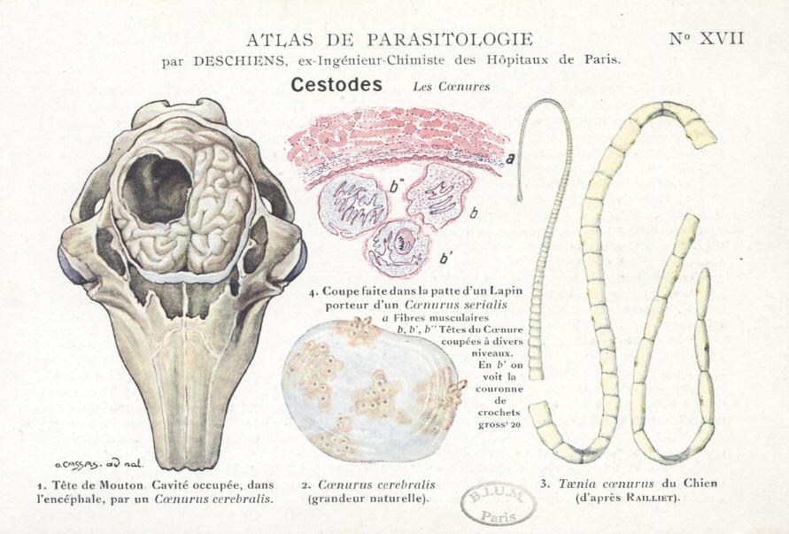 Cele mai frecvente boli parazitare întâlnite la ovine